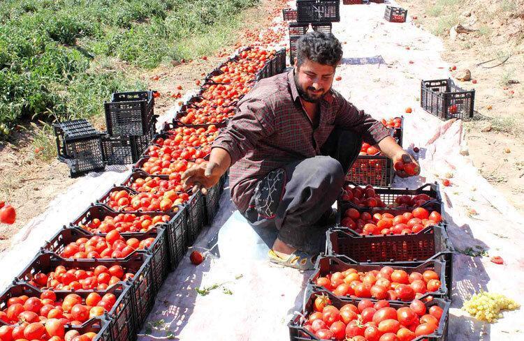 گوجه فرنگی دردسرساز