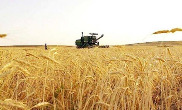 خبرنگاران میزان خرید گندم در گراش فارس به نصف کاهش یافت